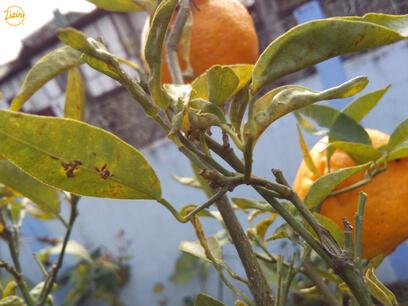 khasi mandarin growing on trees