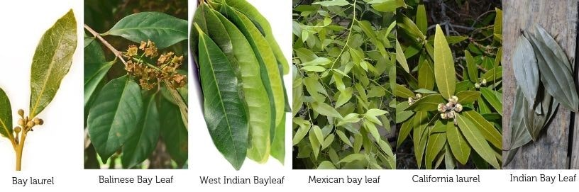 Different-types-of-bay-leaves